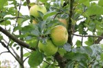 Apple MM106 Bramleys Seedling