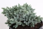 Juniperus sq. Blue Star
