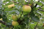 Apple MM106 Bramley Seedling