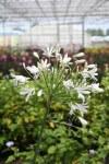 Agapanthus White Umbrella9cm