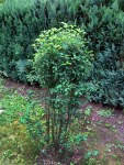 Amelanchier ainifoliaObelisk