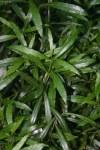 Laurus nobilis Angustifolia