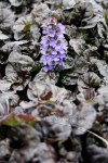 Ajuga Chocolate Chips 9cm