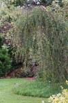 Betula pendula Youngii 10L