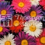Thompson and Morgan Aster Giant Single Andrella Mi