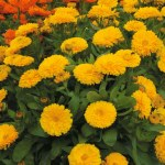 Calendula Orange Flash