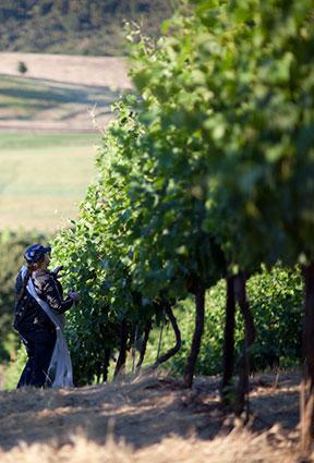 Picking Leaves of the Syrah grape