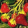 Oregon Totem Strawberry