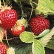 Oregon Hood Strawberry