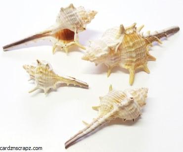 Shells Whelk 7cm 5pk