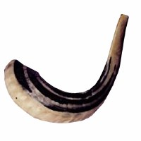 "Ashkenazi Shofar Size #4 with Badatz Hechsher - Size Approximately 15.5"" - 17.5"""