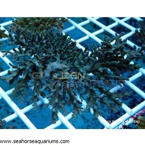 Acropora Pichoni 3988