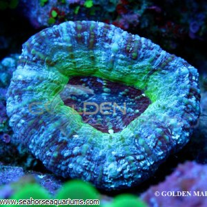 Acanthastrea Maxima Green 3449