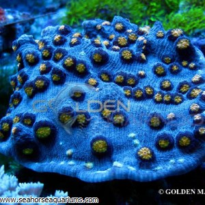 Chalice Coral Yellow 3468