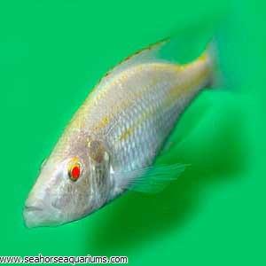 Albino Compressiceps Cichlid
