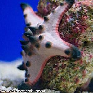 Choclate Chip Starfish