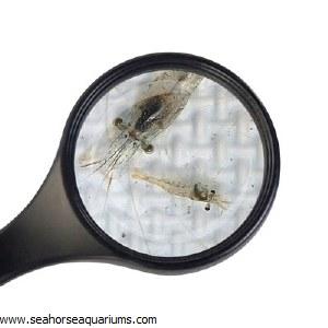 Dwarf White Shrimp
