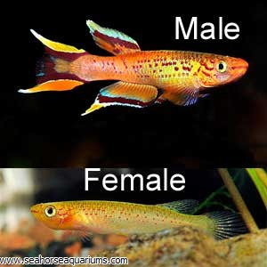 Golden Lyretail Killifish