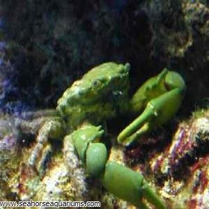 Green Emerald Crab