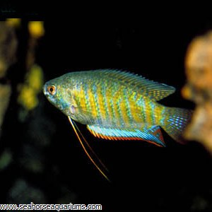 Indian Giant Gourami