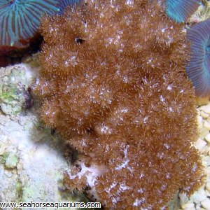 Round Finger Leather Coral