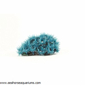 Button Polyp Colony Blue