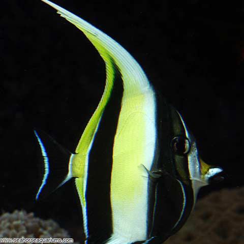 Moorish Idol Seahorse Aquariums Ltd