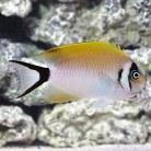 Golden Swallowtail Angel S