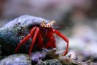 Red Leg Hermit Crab