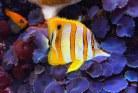 Hawaiian Copperband Butterfly