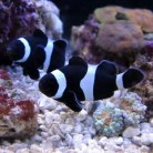Black & White Clownfish