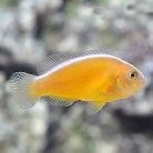 Orange Skunk Clownfish S