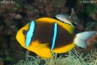 Blue Stripe Clarkii Clownfish