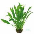 Echinodorus grisebachii Amazon