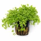 Micranthemum 'Montecarlo'