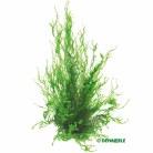 Taxiphyllum Flame Moss InVitro