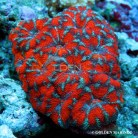 Acanthastrea Red Stripe 3878