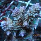 Acropora divaricata 0387