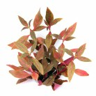 Alternanthera reineckii Red Rb