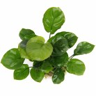 "Anubias barteri ""Coin Leaf"""