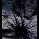 Black longspine Urchin