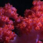 Carnation Tree Coral   XXX