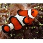Common Clown Fish TB