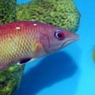 Dianas Hogfish