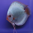Solid Snakeskin Discus