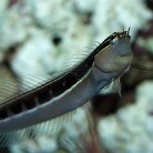 Dot Dash Blenny