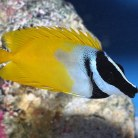 Foxface / Rabbit Fish