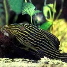 Gold Royal Pleco (L-027)