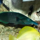 Green Bird Wrasse