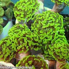 Hammer Coral Branch Per Polyp